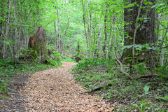 Wooden passway in the forest. Sigulda. Royalty Free Stock Image