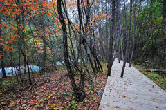Wooden path in autumn forest Stock Images