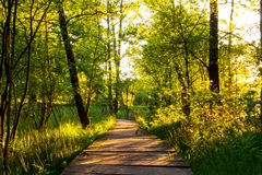Wooden path through German forest in beautiful golden light Stock Images