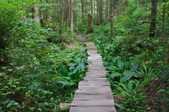Wooden Path leads through a Northwest Rainforest Royalty Free Stock Image