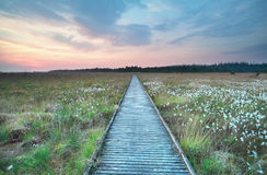 Wooden path on marsh with cotton grass Stock Image