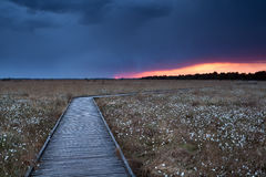 Wooden path on marsh with cotton grass at sunset Royalty Free Stock Photography