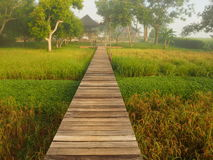 Wooden path midst rice field and mist. Stock Photos