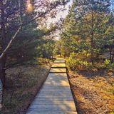 Wooden path in the pine wood Royalty Free Stock Image