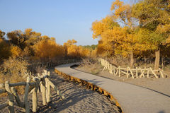 Wooden path in  populus euphratica trees Royalty Free Stock Photo