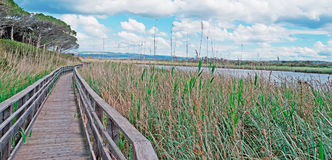 Wooden path and reeds Royalty Free Stock Photography