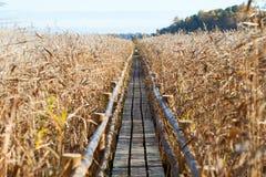 Wooden path through reeds. Stock Photo