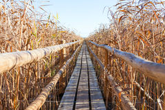 Wooden path through reeds. Stock Images