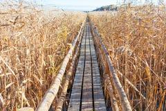 Wooden path through reeds. Stock Photos