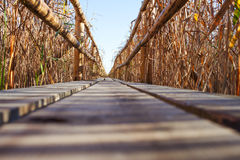 Wooden path through reeds. Royalty Free Stock Photo