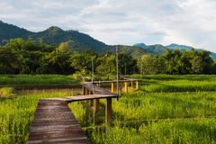 Wooden path through the rice field Royalty Free Stock Photography