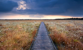 Wooden path on swamp with cotton-grass Royalty Free Stock Images