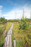 Wooden path on swamp in summer. Dwingelderveld, Netherlands Stock Image