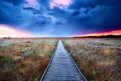 Wooden path on swamp at sunset. Wooden path on swamp with flowering cottograss at sunset Stock Photography