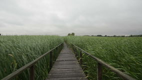 Wooden path trough the reed glidecam stock footage