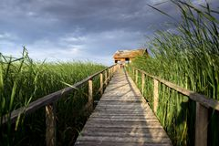 Wooden path trough the reed Royalty Free Stock Images