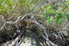 Wooden path way across the mangrove, Ecuador Royalty Free Stock Photography