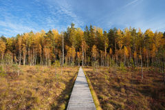 Wooden path way pathway from marsh to forest. Autumn Stock Photography