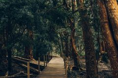 Wooden pathway  through forest of `arrayán` trees in Bariloche, Argentina. Orange-like wood, green leaves stock photography