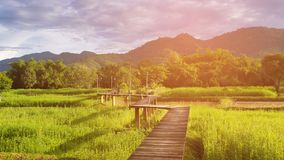 Wooden pathway over rice field. With mountain background Royalty Free Stock Photos