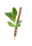 Wooden pencil with leavis. Stock Photos