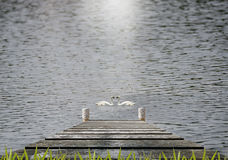Wooden pier at the lake. Old wooden pier at the lake with two  swan Stock Photography