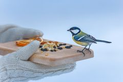 Hungry bird on desk full of nuts and seeds. Wooden plank with seeds and nuts in caring hands, park birds in winter, help for titmouse birds royalty free stock images