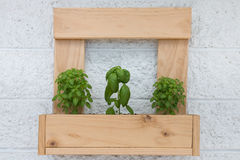 Wooden planter with three basil plants Royalty Free Stock Images