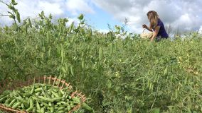 Wooden plate with green pea pod and blurred woman gather pea. 4K stock video