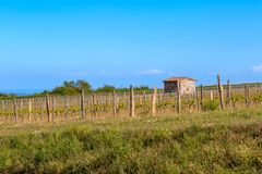 Wooden poles with stretched metal wire support the vineyard lit by evening light. Medieval shed on the field. Blue sky. Art photo. stock photo