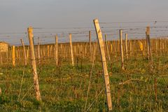 Wooden poles with stretched metal wire support the vineyard. Young leaves on an old french vine lit by evening light. Toned image. stock photo
