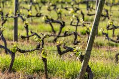 Wooden poles with stretched metal wire support the vineyard in sunny day. Vineyards agriculture in spring. Soft focus. royalty free stock photo