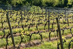 Wooden poles with stretched metal wire support the vineyard in sunny day. Vineyards agriculture in spring. Soft focus. stock photo