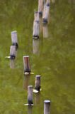 Wooden posts in green water Royalty Free Stock Photos