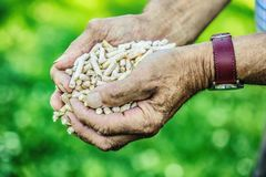 Wooden pressed pellets from biomass in hand old man.  stock images