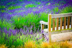 A wooden bench and Lavender fields in England, UK. A wooden retro bench and Lavender fields in England, UK Royalty Free Stock Images