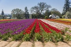 Field of tulips in Woodburn Oregon. Wooden Shoe Tulip Farm in Woodburn Oregon stock images