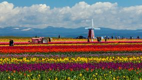 Wooden Shoe Tulip Festival, Woodburn Oregon - Mar 31, 2016: Families and Tourists enjoying colorful Tulip fields in Spring stock video footage