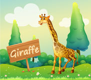 A wooden signboard beside a giraffe Royalty Free Stock Photo