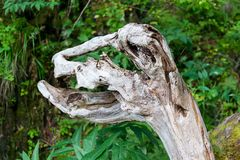A wooden snag that resembles a dinosaur`s head royalty free stock images