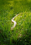 Wooden Snake. In Grass Royalty Free Stock Photography