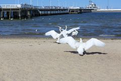 Wooden Sopot pier in sunny day, swans on the sandy beach, Sopot, Poland. SOPOT, POLAND - JUNE 6, 2018: Wooden Sopot pier in sunny day, swans on the sandy beach royalty free stock photos