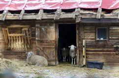 Wooden stable with sheeps Stock Images