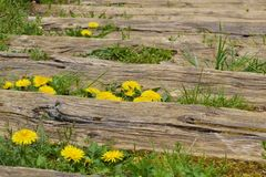 Wooden staircase and dandelions. Wooden staircase, dandelions and spring grass Stock Image