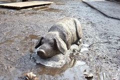 Free Wooden Statue Of Pig In Mud. Stock Images - 104551774