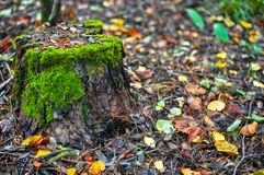An old wooden stump  in an autumn forest. A wooden stump covered with green moss in an autumn forest Royalty Free Stock Photography