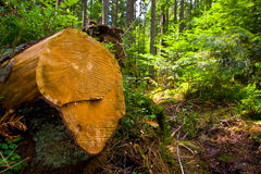Wooden Stump In Forest Stock Photos