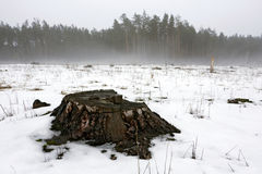 Wooden stump in winter forest Royalty Free Stock Photo