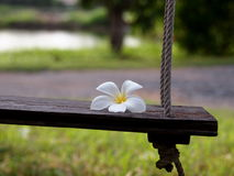 Wooden swing with white Plumeria Stock Image