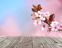 Wooden table and beautiful blooming cherry tree branch with tiny tender flowers against blurred background. Space for design stock photography